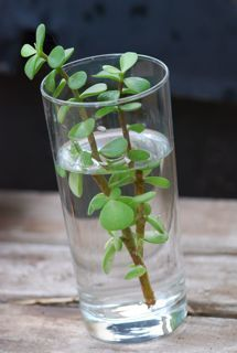 How to propagate different plants. This plant in the picture is one of my favori… - House Plants Propagating Succulents, Plant Cuttings, Cacti And Succulents, Planting Succulents, Planting Flowers, Indoor Gardening Supplies, Container Gardening, Elephant Food, Indoor Water Garden