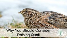 Why You Should Consider Quail -- In an urban area, not everyone has neighbors like we do. Without our neighbors being very open, kind and willing to be bribed with fresh eggs, meat and veggies, we would not be able to do all the things we do on the homestead. Not everyone can raise turkeys, meat chickens, laying hens, ducks,...
