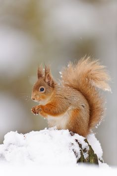 Squirrels - Alpine animal