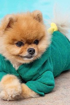 Cute and fashionable pets of Instagram: Jiff the pomeranian wearing a batherobe