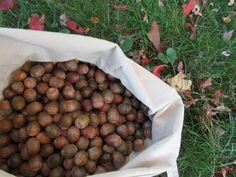 a bag of acorns