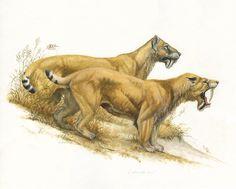 Barbourofelis life restoration by Mark Marcuson Prehistoric Wildlife, Prehistoric Creatures, Stone Age Animals, Dinosaur Art, Extinct Animals, Large Animals, Zebras, Mammals, Ice Age