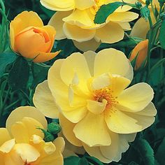 Buttercup - Potted Roses - Delivery Type