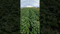 In China,farmers used Trichoderma harzianum products on melons,increase root growth and control soil-borne dieases.  More info:http://www.doraagri.com/product/dora-rootguard/