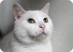 12/08/16 SL~~~05/04/16-Domestic Shorthair Cat for adoption in Chicago, Illinois - Absolut is FIV+ & came from a hoarding situation. She arrived with Bella Bunny & they need to be adopted together.