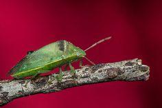 chinche verde, sobre rojo