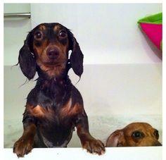 I'm ready to get out, Mum!! #Dachshund #doxiedarlin'