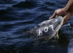 Un veterinario dell'Audubon Nature Institute rilascia nel Golfo del Messico una tartaruga di Kemp, una rara varietà della tartaruga di mare, arenata alcune settimane prima sulle coste del New England (AP Photo/Gerald Herbert) - Il Post
