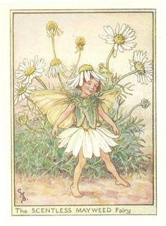 http://www.wellandantiquemaps.co.uk/lg_images/The-Scentless-Mayweed-Fairy.jpg