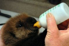 Baby otter being bottle fed at SeaWorld San Diego