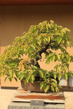 寒桜 Kanzakura (Cherry) - 盆栽美術館 - bonsai museum | Flickr: Intercambio de fotos