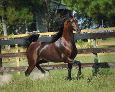 Marwan Al Shaqab, gorgeous, horse, cute, nuttet, fabulous, amazing, beautiful, running, grass, trees, fence, photo.