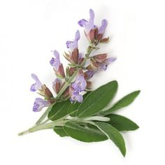 Clary Sage There is nothing better than Clary Sage to eliminate all your health problems!