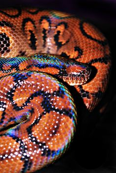 Reptiles and Amphibians! Les Reptiles, Cute Reptiles, Reptiles And Amphibians, Pretty Snakes, Beautiful Snakes, Brazilian Rainbow Boa, Types Of Snake, Spiders And Snakes, Coral Snake