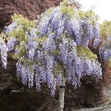 Image result for wisteria standard