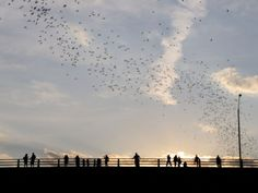 Thousands of Mexican free-tailed bats fly from under