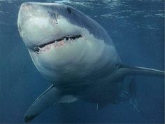 World's Most Amazing Things: Amazing Great White Shark Facts - Great White Shark Photos, Information, Habitats, News