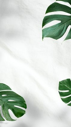 Download premium psd of Green Monstera leaves on white background 2439699