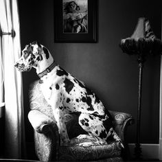 Murphy the Great Dane wants to go out and play