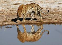 Reflejo leopardo