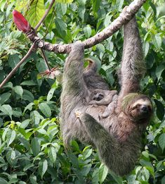 Mom & Baby Sloth Mom sloth and her little baby Pictures Of Sloths, Cute Sloth Pictures, Sloth Photos, Animal Pictures, Cute Baby Sloths, Cute Baby Animals, Animals And Pets, Funny Animals, Wild Creatures