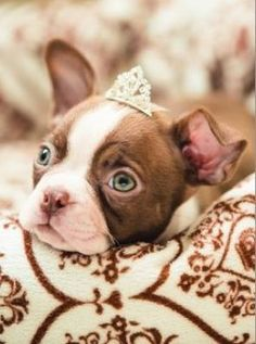 Oh, little princess puppy. This dog has beautiful green eyes. I wonder if it is most common for the black and white Bostons to have brown eyes, and for the red ones to have green?