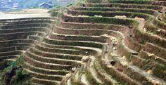 China Pulls Plug on Genetically Modified Rice and Corn
