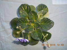 Pat tracey... Saintpaulia, Plant Leaves, Plants, African Violet, Plant, Planets