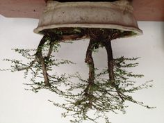 """One of my bonsai collection in Raft style. I called this one """"Fletcher/Forbes/Gill""""."""