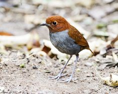 The Bicolored Antpitta (Grallaria rufocinerea), threatened by habitat loss, is another secretive, shy and wary bird of the Grallariidae family (Antpittas). Its habitat is dense undisturbed moist Andes forest usually at altitudes between 2200 and 3150 meters. It is near endemic to Colombia and was only recently discovered in the extreme northeast of Ecuador near the Colombian border.   This image was taken at Reserva Ecologica Rio Blanco in Manizales, Caldas, Colombia. The altitude is about…