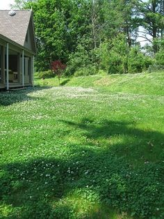 Clover Lawns Beautiful And Dog Urine Resistant Lawn Gr Alternative