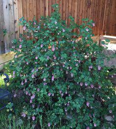 California Native Garden #gardening #garden #gardens #DIY #landscaping #home #horticulture #flowers #gardenchat #roses #nature