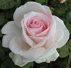La rose 'Francis Meilland', une création de sa petite fille