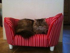 Persian cat Chocho
