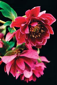 Helleborus, een winterbloem