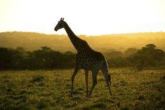A stunning lone Giraffe during an African Safari at Sunset. This Game Reserve is near Port Elizabeth, and offered amazing views with the animals in a close but safe distance. Tsitsikamma National Park, Before You Fly, V&a Waterfront, Boulder Beach, Whale Watching Tours, Port Elizabeth, Table Mountain, Game Reserve, African Safari