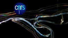 Cténophores - Orgie de couleurs. Vagues de lumière iridescentes, à l'affût de proies, voici les cténophores.  Projet Chroniques du plancton ...