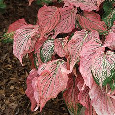 Best Caladium Varieties - you gotta have at least one caladium in your garden