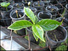 seedbed, coffee plant, Doka Estate, Alajuela, Costa Rica
