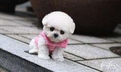 Welcome to FouFou Puppies. The Home of the World's Most Exquisite Teacup Poodles for Sale. Contact Us Today to Reserve Your Puppy! (+1) 403-836-5552. Ask for Our 'Special Order' Option. We Can Locate Your Dream Puppy! Teacup Poodles For Sale, Teacup Poodle Puppies, Poodle Puppies For Sale, Teacup Puppies For Sale, Tea Cup Poodle, Tiny Puppies, Dog Toys, Your Pet, Dreaming Of You