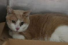 Bailey A1125499 – 16 yr. neutered orange tabby, stray: 16 year old BAILEY lost his home when owner went into the hospital. He has some bad dental issues and needs rescue asap!!