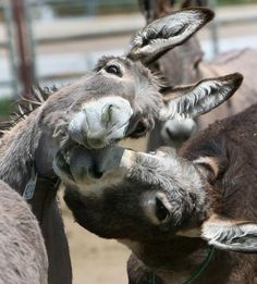 Posted by For the Love of Donkeys ~ Ariane Donkey-shenanigans! Farm Animals, Animals And Pets, Funny Animals, Cute Animals, Wild Animals, Pretty Horses, Beautiful Horses, Animals Beautiful, Cute Donkey
