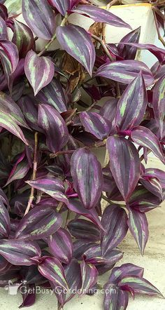 Wandering Jew Plant Care Guide - House Plants - ideas of House Plants - Wandering jew plants can be difficult to grow indoors. Once you get the hang of indoor wandering jew plant care you can keep them growing year after year. Wondering Jew Plant, Garden Plants, Indoor Plants, Flowering House Plants, Tropical House Plants, Fruit Garden, Wandering Jew, Easy Care Plants, Inside Plants