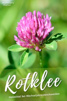 Rotklee The red clover is widespread and is considered a lucky charm in many cultures. Hydroponic Gardening, Hydroponics, Herb Garden, Indoor Garden, Mothering Sunday, Herbs Indoors, Healing Herbs, Growing Herbs, Types Of Plants