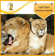 bred in captivity: A Liger is a male lion tigress hybrid. A Tigon is a male tiger lioness hybrid. Ligers are larger than both parents, and Tigons are smaller than both parents. Small Wild Cats, Big Cats, N Animals, Cute Animals, Wild Animals, Beautiful Cats, Animals Beautiful, Cat And Cloud, Lion And Lioness