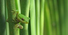 Grand prize winner, Craig McIntyre's image of a green tree frog, Arkansas
