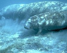 """All three species of manatee are listed by the World Conservation Union as vulnerable to extinction.  It is illegal under federal and Florida law to injure or harm a manatee.[7] Manatees are classified as """"endangered"""" by both the state of Florida and the federal Government.  The MV Freedom Star and MV Liberty Star, ships used by NASA to tow Space Shuttle Solid Rocket Boosters back to Kennedy Space Center, are propelled only by water jets to protect the endangered manatee population that inha..."""
