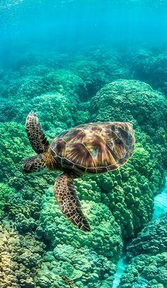 Tortuga que nada entre los arrecifes de coral frente a la isla grande de Hawaii (por Lee Rentz)