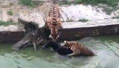 Empleados de zoológico en China lanzan a un pobre burro a un estanque. Querían que fuera devorado