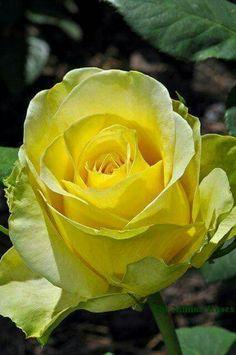 Yellow roses..my favorite ~♡~